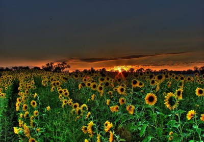 sunflower-sunset1
