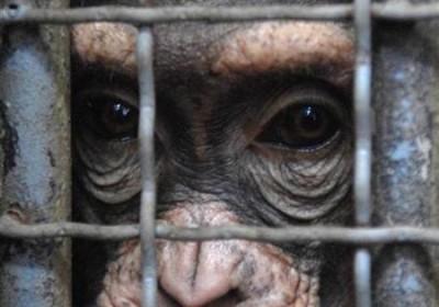 csimpanz_1
