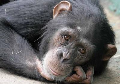 chimpanzeemidlifecrisis