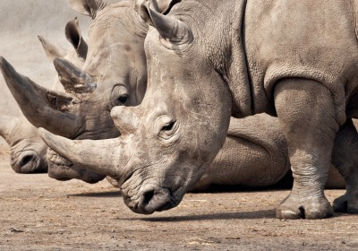 1681038-poster-1280-rhino-rescue-project-rhinocerous-gps-poison-control
