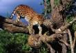 Észak-Afrikai leopárd