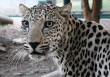 Arab leopard