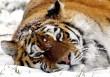 Sziberiai tigris
