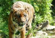 Szumatrai tigris