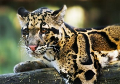 clouded-leopard-1-537x356