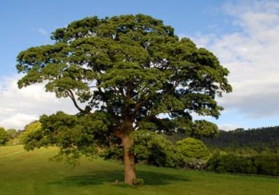 english-oak-tree-537x358