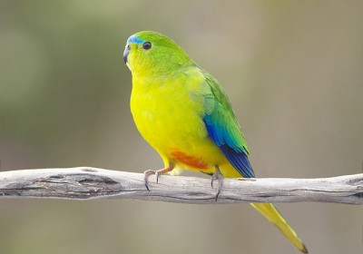 rare_parrot.jpg.662x0_q100_crop-scale