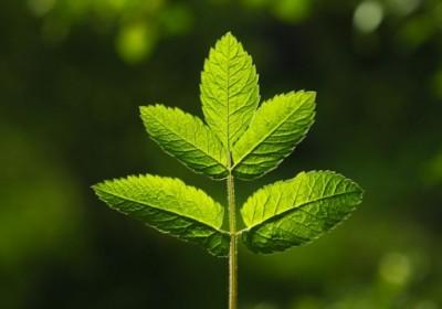 leaf-537x358