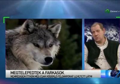 farkasok1