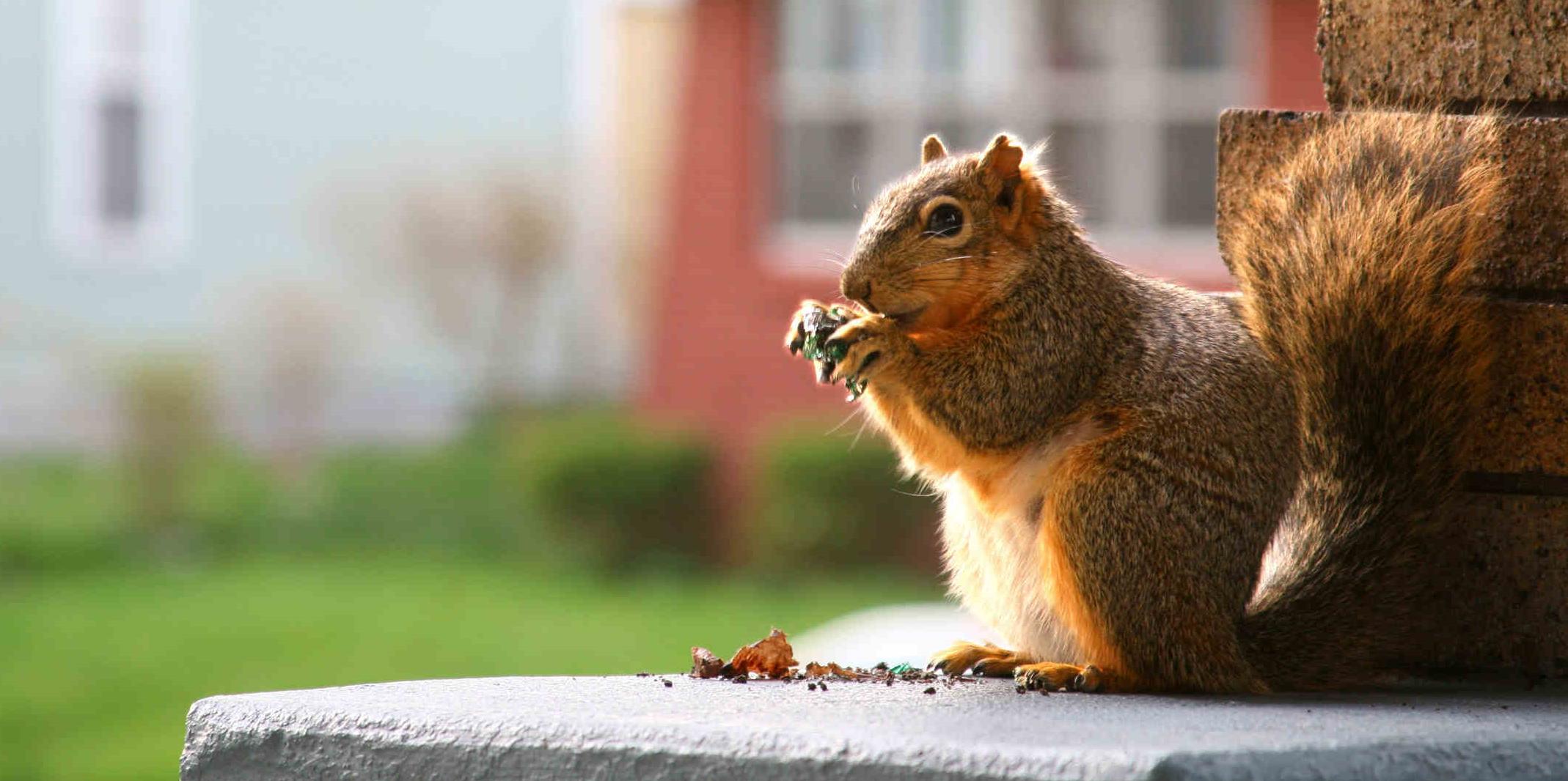 Találkozhatunk-e mókussal a szigetelt tetőtérben?