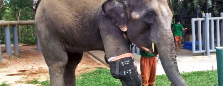 mosha-elephant-prosthetic-01-1-1020x610