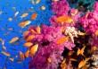 pink-coral-fish