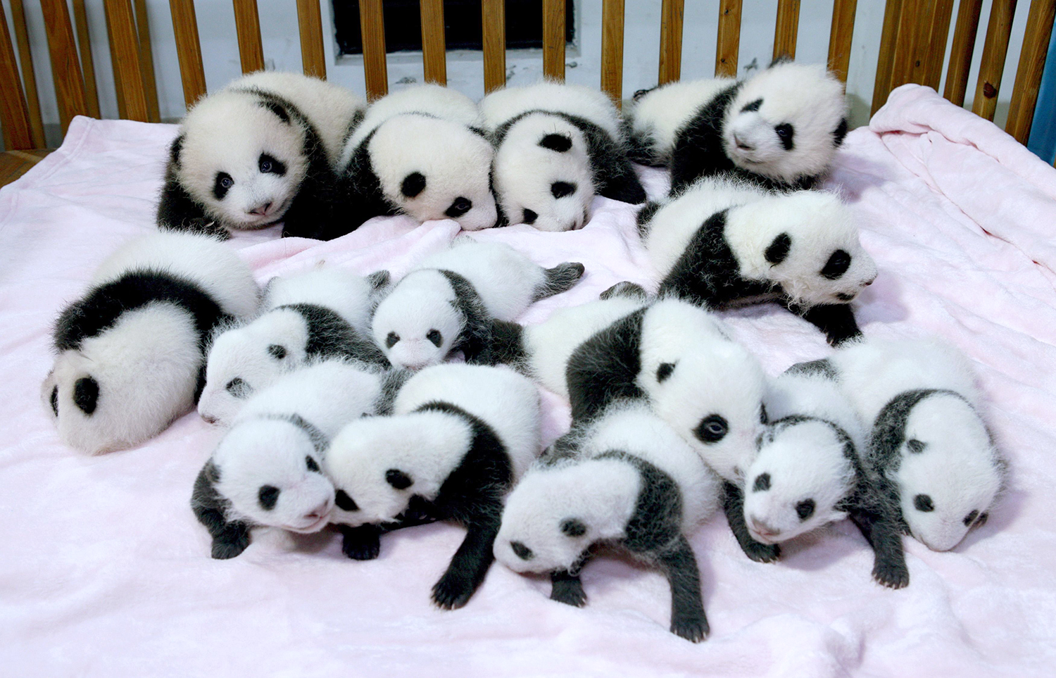 Giant panda cubs lie in a crib at Chengdu Research Base of Giant Panda Breeding in Chengdu, Sichuan province, September 23, 2013. Fourteen new joiners to the 128-giant-panda-family at the base were shown to the public on Monday, according to local media. REUTERS/China Daily (CHINA - Tags: SOCIETY ANIMALS) CHINA OUT. NO COMMERCIAL OR EDITORIAL SALES IN CHINA