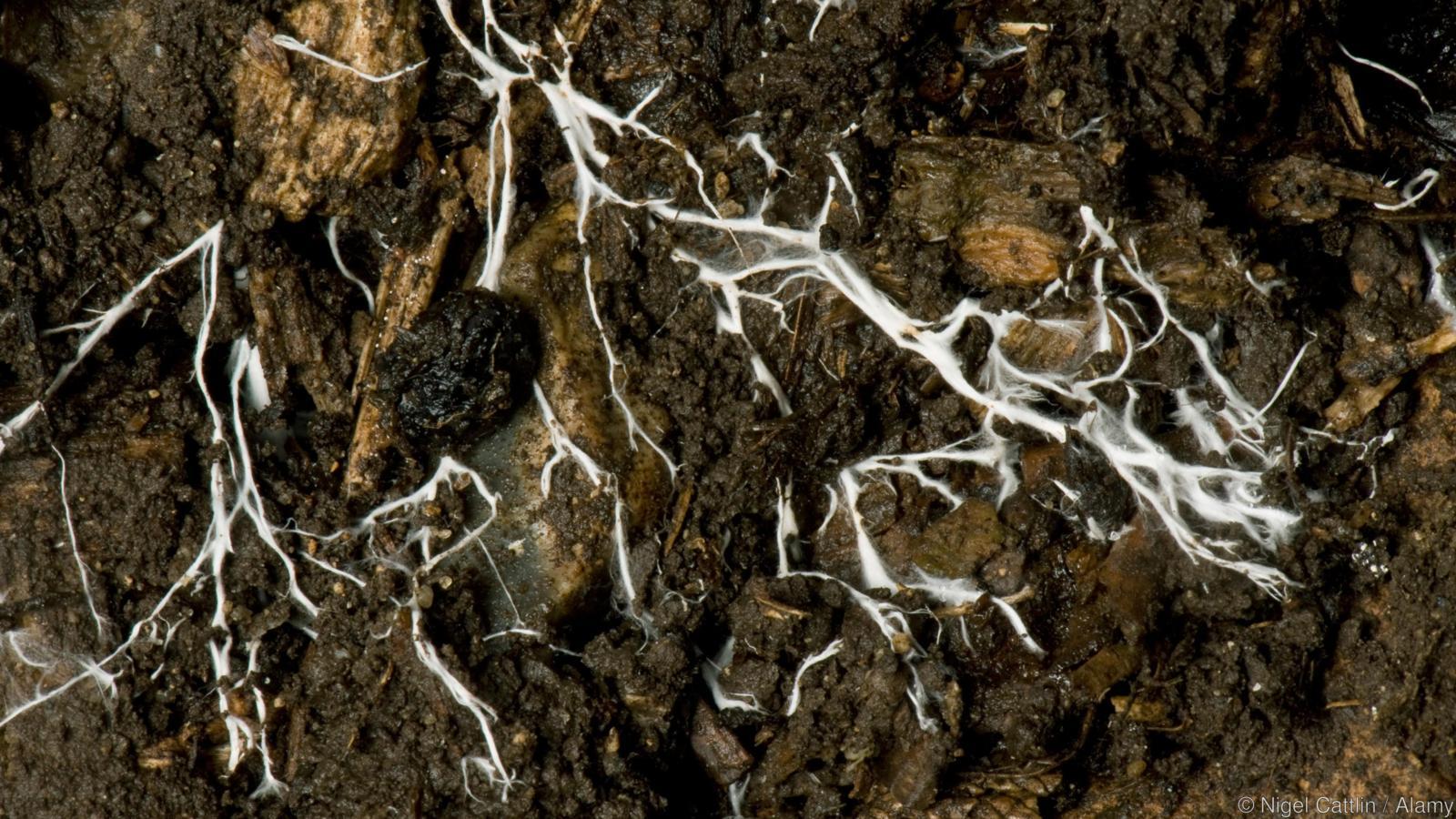 D52RCW Branching threads of fungus mycelium in organic soil