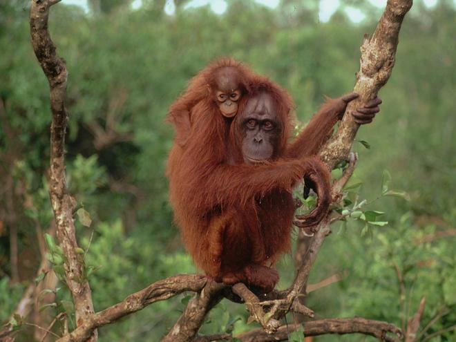 Pongo pygmaeus Orang-utan with baby at Camp Leakey Tanjung Puting Reserve South Kalimantan, Indonesia