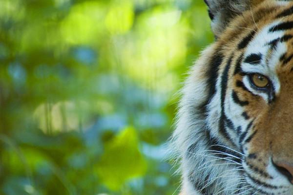Siberian tiger (Panthera tigris altaica) half portrait, captive