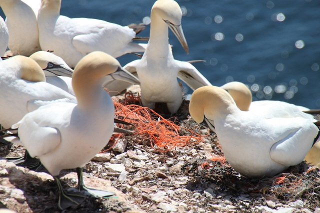 "Basstölpel (Morus bassanus) auf Helgoland ""nutzen"" alte Netze als Nistmaterial Seabirds (Morus bassanus) are using old fishing nets as nesting material in their nesting colony at the island Helgoland (North Sea / Germany)"