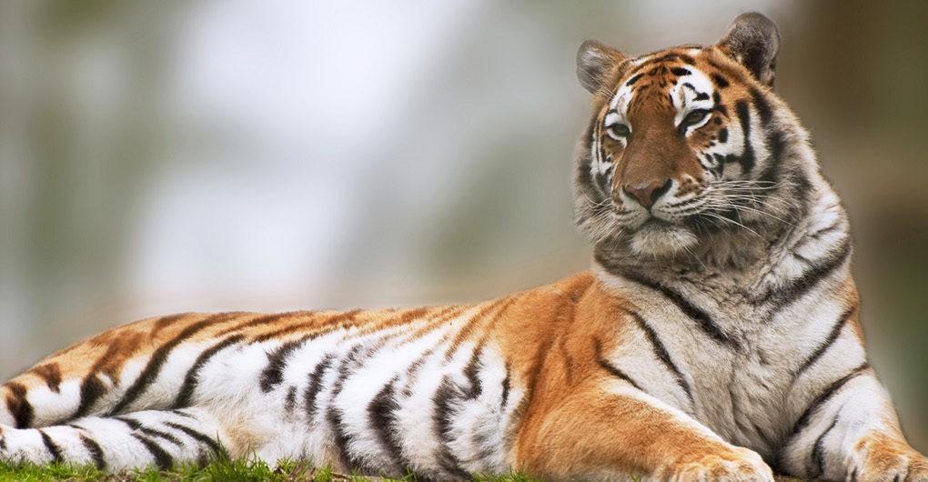 70 év után tigriseket telepítenek vissza Kazahsztánba