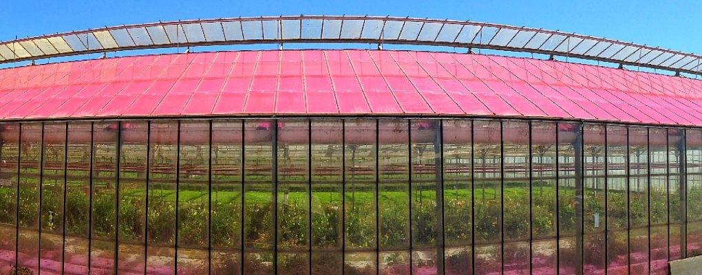 Hamarosan rózsaszín üvegházak lephetik el a világot