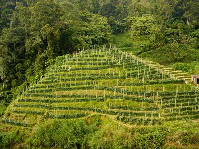 Malaysia-tea_plantation